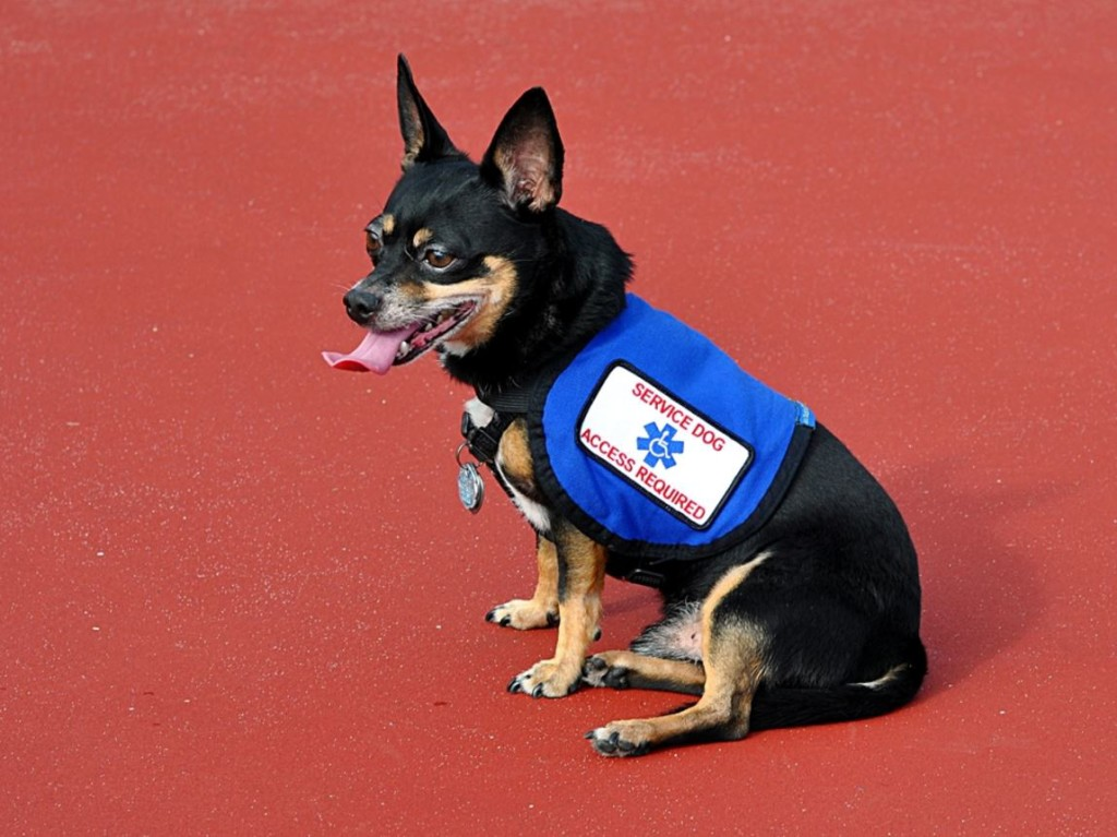 laws deal with fake service animals
